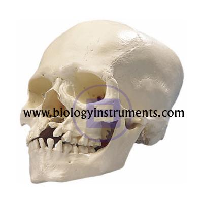 Microcephalic Skull