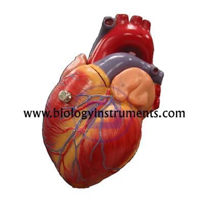 Human Heart 4 Parts