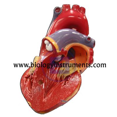 Human Heart 3 Parts