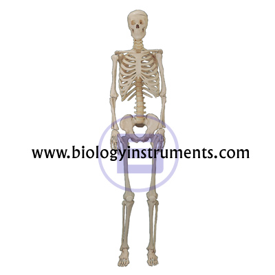 Human Skeleton Small