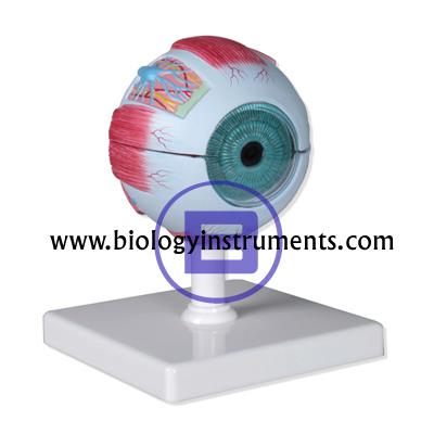 Human Eye 3X