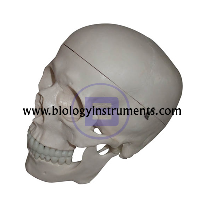 Human Skull Artificial, Economy
