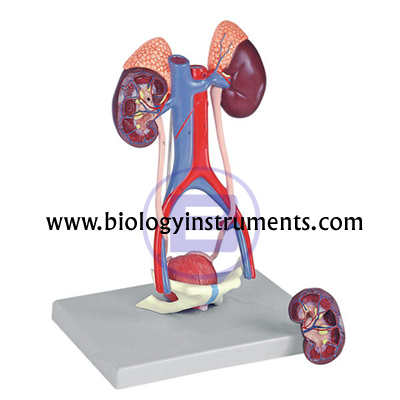 Human Urinary System