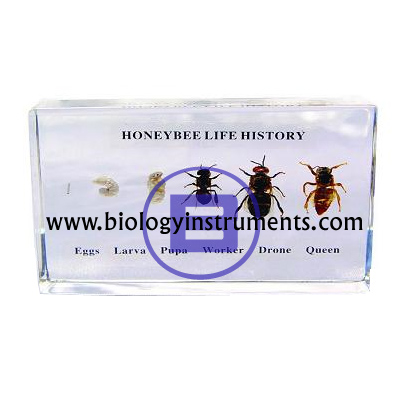 Honey Bee Life History