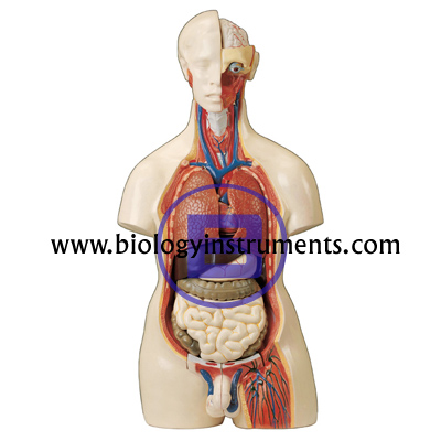 Human Torso with Interchangeable Sex Organs