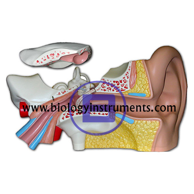 Human Ear 4x