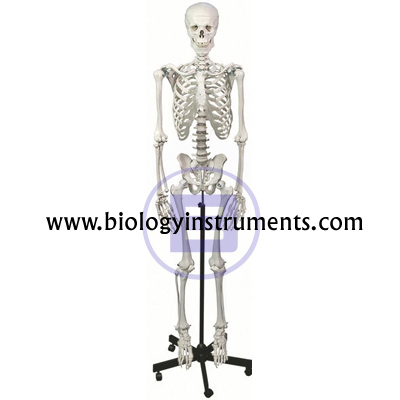 Human Skeleton on Stand