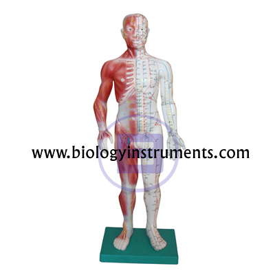 Acupuncture & Muscle Model