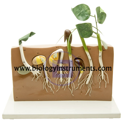 Comparative Germination Model