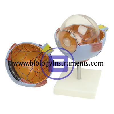 Human Eye 6 Parts
