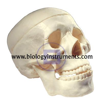 Human Skull Artificial, 3 Parts
