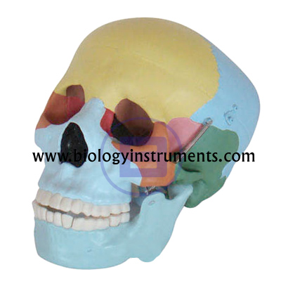 Skull Model Colored Bones
