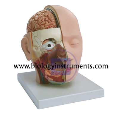 Head dissection 4 parts