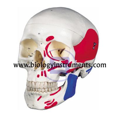 Muscle Skull