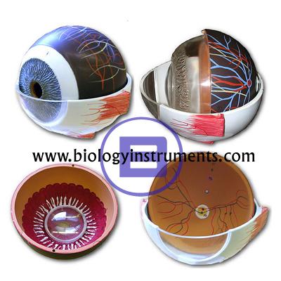 Human Eye Enlarged 5 Times
