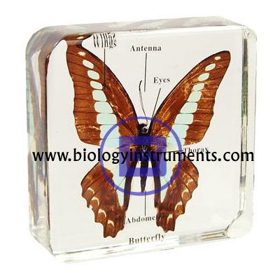 Butterfly Mounted Specimen