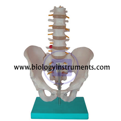 5pcs Lumbar Vertebrae with Pelvis