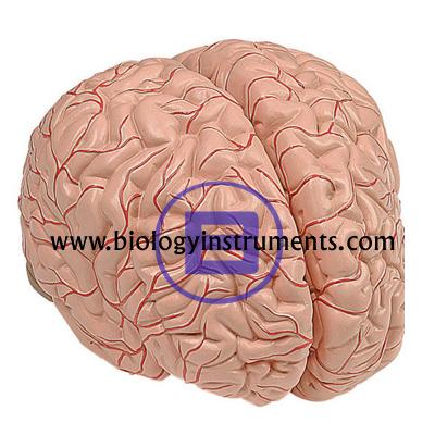 Human Brain 4 Parts