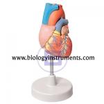 Human Heart 2 Parts
