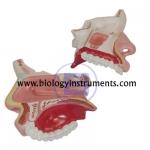 Anatomy Nasal Cavity