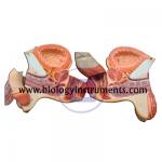 Human Male Genital Organs