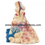 Lobule of the Lung Model