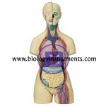 Human Torso Unisex 16 Parts