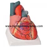 Human Heart 7 Parts