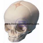 Fetal Skull Model