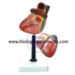 Human Heart Economy Model