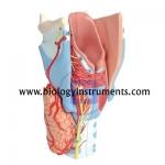 Human Larynx Model 2X