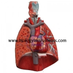 Human Lung with Larynx and Heart
