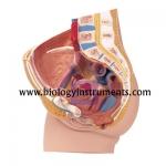 Human Female Pelvis 2 Parts