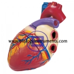 Human Heart 3 Times Life Size